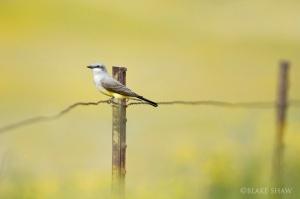 blake yellowbird
